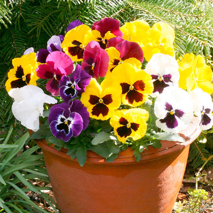 Pansy Seeds - Cassius Mixed F1