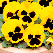 Pansy Plants - Yellow Blotch