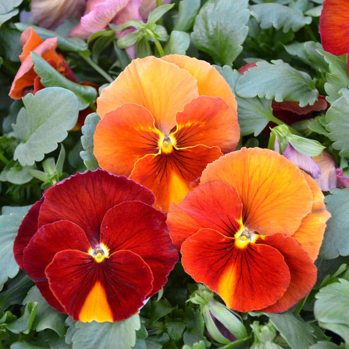 Pansy Plants - Beacon Caramel