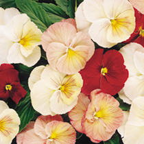 Pansy Plant - Antique Shades