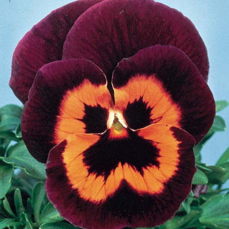 Pansy Seeds - Poker Face F2