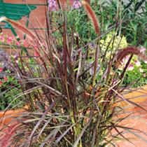 Pennisetum Rubrum Plant
