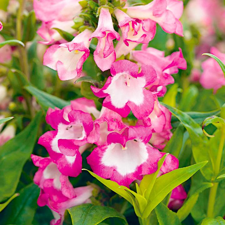 Penstemon Plant - PepTalk Pink
