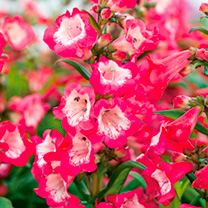 Penstemon Plants - PepTalk Red