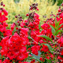 Penstemon Plant - Cha Cha Cherry