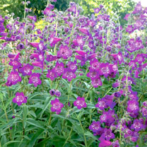 Penstemon Plant - Cha Cha Purple
