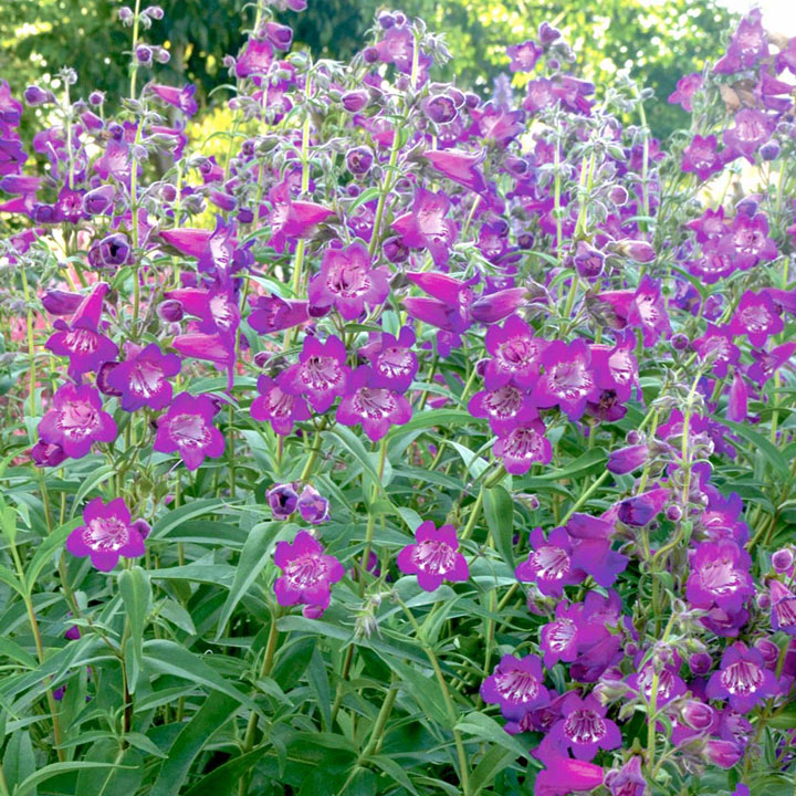 Penstemon Plant - Cha Cha Purple