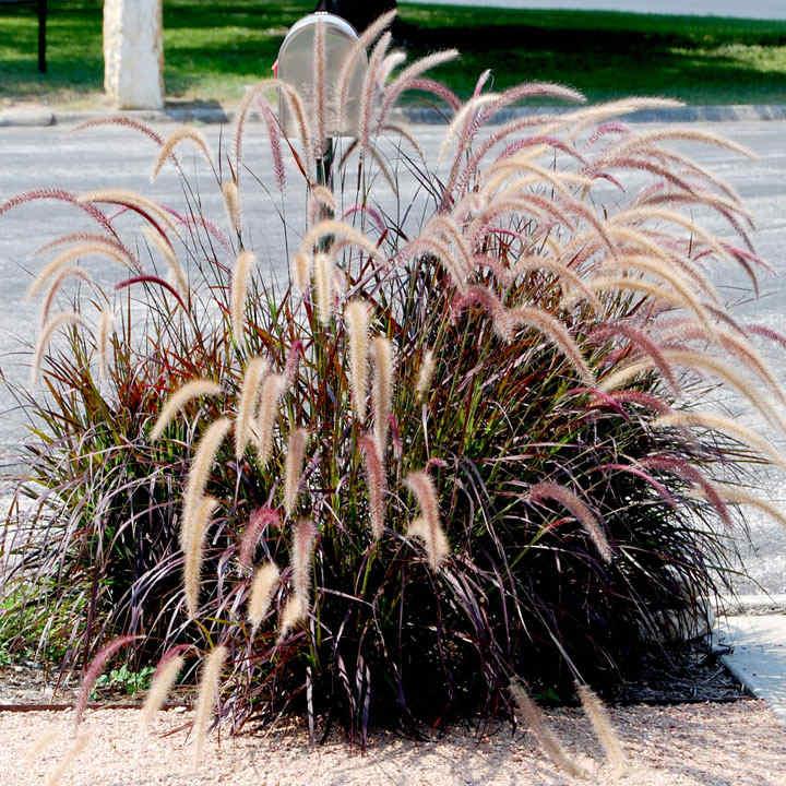 Pennisetum rubra Plant