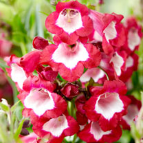 Penstemon Pentastic Plants - Red, Pink, Rose