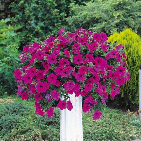 Surfinia Plants - Large-flowered Purple