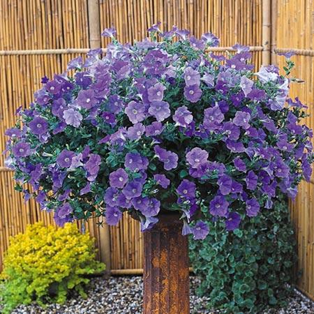 Surfinia Plant - Large-flowered Sky Blue
