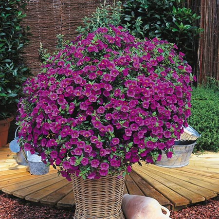 Surfinia Plant - Large-flowered Pink