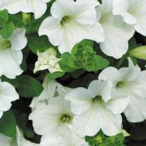 Surfinia Plant - Large-flowered Vanilla