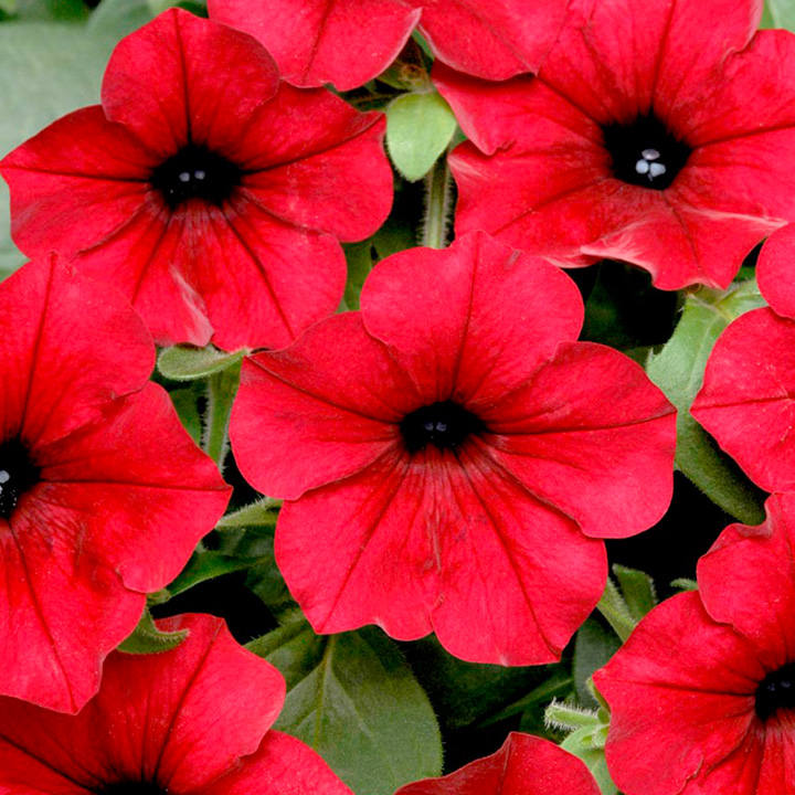 Petunia Seeds - Tidal Wave Red Velour F1