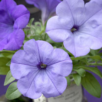 Petunia Plants - F1 Evening Scentsation