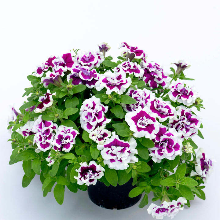 Petunia Plants - Bella