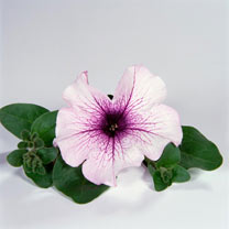 Petunia Plants - Surfinia Purple Vein