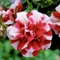 Petunia Plant - Tumbelina Cherry Ripple