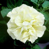 Petunia Plants - Tumbelina Susanna