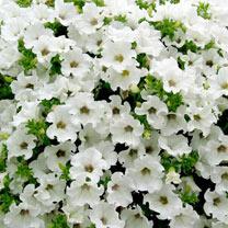 Petunia Plants - Classic White