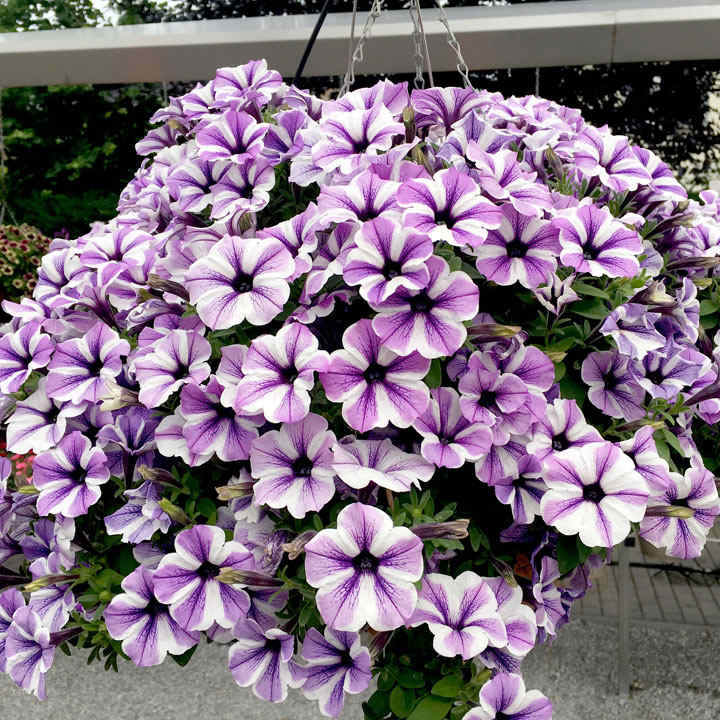 Petunia Plants - Sweetunia Starfish