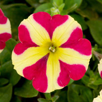 Petunia Plants - Amore Queen of Hearts