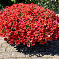 """Super"" Petunia (Beautical) Plants - Bordeaux"