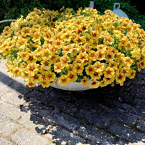 Super Petunia (Beautical) Plants - Caramel Yellow