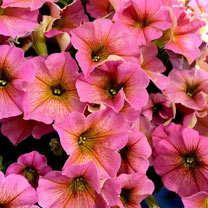 Petchoa Beautical Plants - Sunray Pink