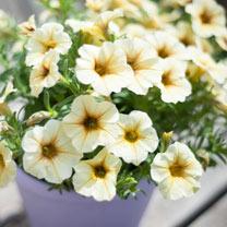 Super Petunia (Beautical) Plants - French Vanilla