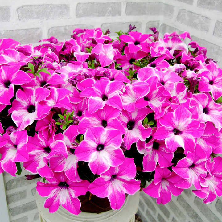 Petunia Plants - Happy Classic Giant Pink Mix