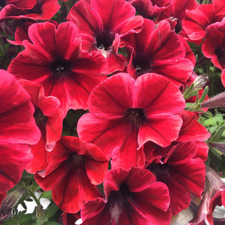 Petunia Plants - Fiona Flash