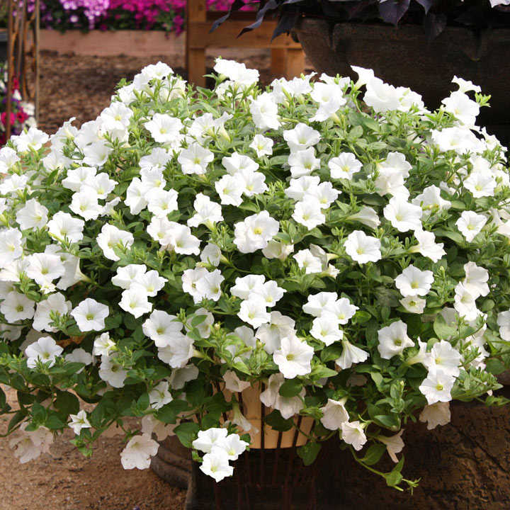 Petunia Surfinia Large Flowered Plants - Snow