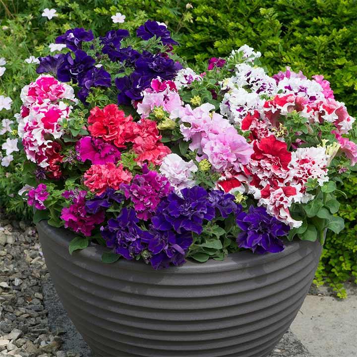 Petunia Plants - Double Pirouette