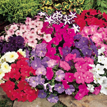 Petunia Seeds - Carpet Mixed F1