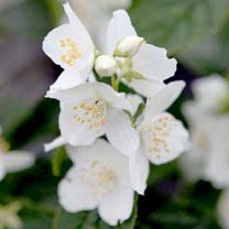 Philadelphus coronarius Plant - Variegatus