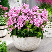 Phlox paniculata Plant - Bambini® Candy Crush