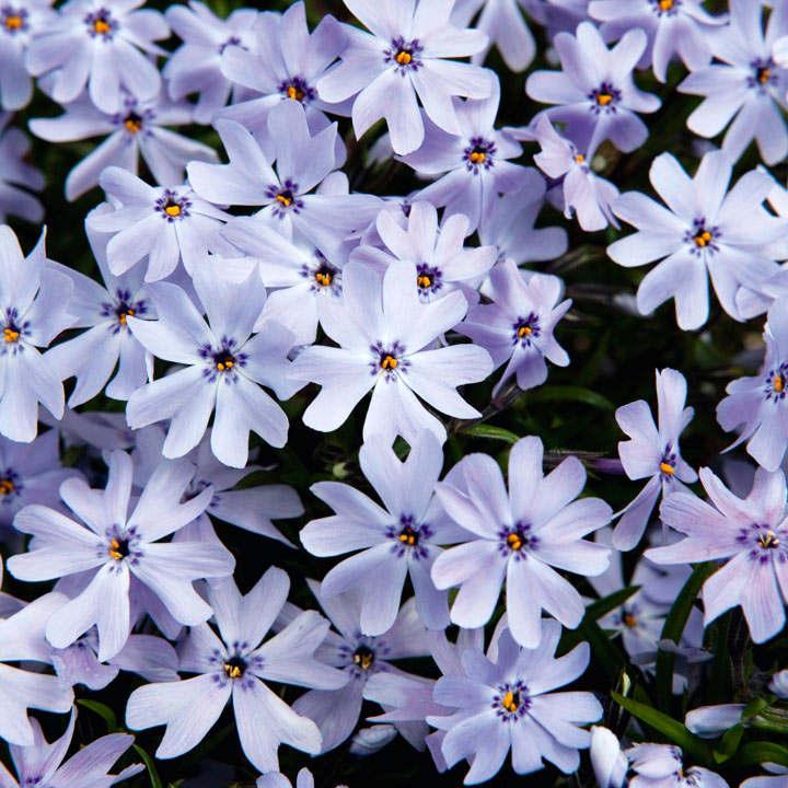 Phlox subulata Plant - Spring Blue