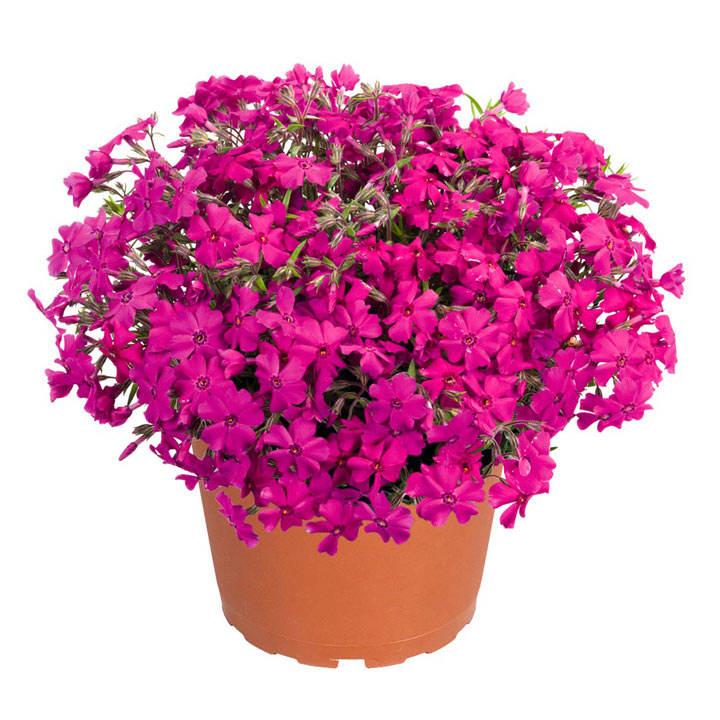 Phlox subulata Plants - Spring Hot Pink