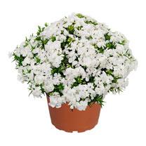 Phlox subulata Plants - Spring White