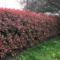 Photinia Red Robin (Red Laurel) Plant - 2L Value Hedging Range