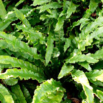 Phyllitis scolopendrium Plant
