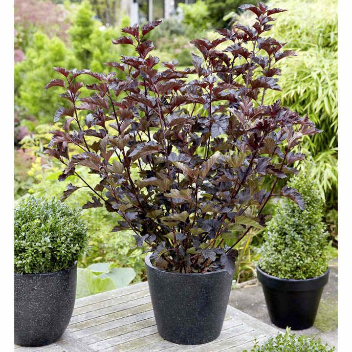Physocarpus opulifolius Plant - Midnight