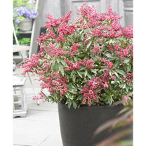 Pieris jap. Plant - Polar Passion