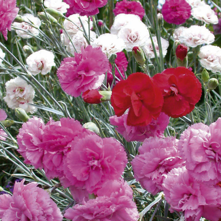 Whetman Pinks Plants - Collection