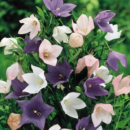 Platycodon Plants - Florist Mix