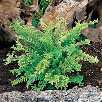 Polypodium Plants - Bifido Multifidum