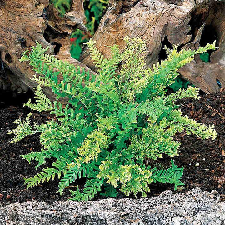 Polypodium Plant - Bifido Multifidum