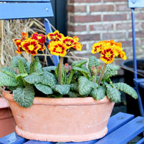 Polyanthus Plants - Castillion