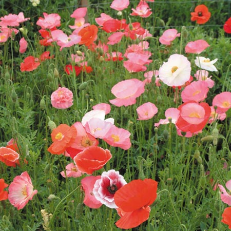 Poppy Mixed Organic Flower Seeds Flower Seeds Flowers Garden